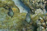 """Тёмный Стегастес (Рыба- Ласточка) называют """"Рыба- фермер"""", потому что она культивирует водоросли на мертвых кораллах,удаляя нежелательные виды и способствует росту нужных.Очень драчливые, территориальные стайки, могут даже кусать дайверов.Обитает на рифовых плато, в бухтах, лагунах 0,3- 10 метров.  Тёмный Стегастес, Красное море"""