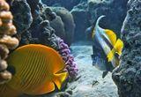 Масковая Рыба- Бабочка, Красноморская Кабуба.Размер Рыбок около 15 сантиметров. Красное море