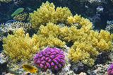 Древовидный Мягкий Коралл, Поциллопора Бородавчатая МалиноваяРыбки: Талассома, Лимонный Леопольдит Красное море