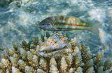 Раковина Волнистый Стромбус (Strombus sinuatus), Талассома КлунцингераКрасное море