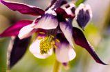 цветы, природа, макро, весна, аквилегия, spring, nature, macro, aquilegia