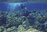ФотоСтудияПосейдона или двухсторонняя фото- охота за Звездчатым Аротроном.Размер Рыбы около шестидесяти сантиметров. Красное море
