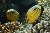 Полиповая Рыба- Бабочка. Размер Рыбки около 10 сантиметров. Одни из самых типичных и ярких рифовых рыбок. Днем они парами патрулируют территорию, а ночь проводят, лежа на дне. Вид весьма разборчив в еде. У них длинное узкое рыло, которое они используют при добывании мелких полипов,обитающих в каменистых кораллах. Образуют постоянные пары на несколько лет, а иногда на всю жизнь.Полиповая Рыба- Бабочка, Красное море