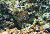 Размер Рыбки с хвостиком около 15 сантиметров.Кузовок- Кубик, Красное море