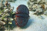 Трипнеустес (Ядовитый Морской Ёж)- преимущественно растительноядны,предпочитают многоклеточные водоросли с крупными мясистыми талломами.Охотятся также на различных некрупных планктонных и донных беспозвоночных,убивая их ядом своих педицеллярий. Встречаются различные варианты окраса.Ядовитый Морской Ёж Трипнеустес, Красное море