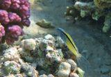 Размер Рыбки около 8 сантиметров.Чернополосый Эксен, Красное море