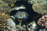 Длинношипая Рыба- Ёж, Лимонный ЛеопольдитКрасное море