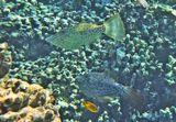 Посчастливилось наблюдать игру двух Алутеров. Они носились на глубине друг за другом.Самое удивительное было в том, что при этом Рыбы меняли свой цвет:от светло- оливкового, через голубой, синий, светло- зеленый до ярко- изумрудного.Расписной Алутер, Красное море