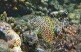 Короткая Экзалия или Морская Собачка, размер Рыбки менее 10 см, пугливая, при малейшем движении воды прячется, молниеносно слетая с коралла.  Короткая Экзалия, Красное море