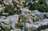 Размер Рыбки около 10 сантиметров. Сложно заметить среди кораллов.Рацион питания разнообразный: водоросли, беспозвоночные, планктон.Кожа голая, без чешуи, покрытая толстым слоем слизи.Пуглива, при малейшем движении воды мгновенно прячется.Многополосая Салария (Морская Собачка)Красное море