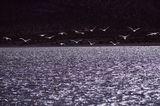Фламинго взлетает над горным озером