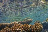 На внутренней поверхности воды- отражение кораллов.Их разноцветье создает неповторимую палитру красок, постоянно меняющую оттенки.Ежесекундное изменение цветового рисунка завораживает!Рыбки, попавшие в кадр: Обудефдуф Обыкновенный, Талассома КлунцингераКрасное море
