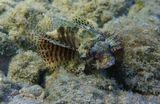 Размер Рыбки около 15 сантиметров.Короткопёрый Дендрохир, Красное море