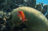 Размер Рыбки около 10 сантиметровДрагоценный Псевдантиас, Красное море