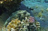 Размер Рыбки около 30 сантиметров.Колючий Аротрон, Красное море