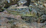 Размер Рыбки около 15 сантиметров. Питается донными беспозвоночными, губками.Наблюдала, как два Иглобрюха поедали маленькую Рыбку. Легко узнаваем по необычному внешнему виду - тело слегка сплюснуто, верхняя часть пестрой окраской напоминает песчаник - среду обитания этого вида рыб, нижняя - светлая. Светлая - для того, чтобы быть менее заметным при взгляде снизу, на фоне поверхности моря. Красноморский Иглобрюх- Торквигенер, Красное море