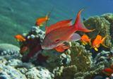 Размер Рыбки около 15 сантиметровДрагоценный Псевдантиас, Красное море