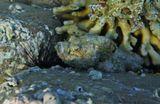 Размер Рыбки около 25 сантиметров.Скорпенопсис, Эхинотрикс- Диадема (Морской Ёж)Красное море