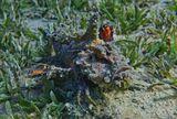 Наблюдала, как рыба передвигается по дну, используя лучи грудных плавников. Как Монстр на когтистых лапах, иногда слегка как бы взлетала, распушив крылья- плавники, окрашенные с внутренней стороны ярко оранжево- желто- черным узором. Любовалась и снимала до тех пор, пока Бородавчатка не уковыляла в тень коралла...  Нитевидная Бородавчатка, Красное море