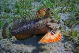 Самая опасная из всех известных ядовитых рыб. Ведет малоподвижный образ жизни.Из-за большого сходства с прибрежными камнями заметить ее очень сложно.Рыба-камень обладает способностью вырабатывать яд и впрыскивать его в жертву через 12 толстых колючек спинного плавника.Свои шипы Бородавчатка поднимает при малейшем раздражении. Если колючка попала в крупный кровеносный сосуд, смерть может наступить через 2–3 часа.Красное море