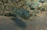 Размер Рыбки около 15 сантиметров. Питается донными беспозвоночными, губками.Наблюдала, как два Иглобрюха поедали маленькую Рыбку.Легко узнаваем по необычному внешнему виду - тело слегка сплюснуто,верхняя часть пестрой окраской напоминает песчаник - среду обитания этого вида рыб, нижняя - светлая.Светлая - для того, чтобы быть менее заметным при взгляде снизу, на фоне поверхности моря.Красноморский Иглобрюх- Торквигенер, Красное море