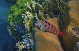 Размер Рыбки около 10 сантиметров.Короткая Экзалия (Собачковые), Красное море