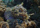 Размер Рыбки около 20 сантиметров.Бородатый Скорпенопсис, Красное море