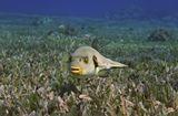 Размер Рыбки около 25 сантиметров.Непятнистый Аротрон, Красное море