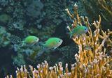 Размер Рыбки 5-7 сантиметров.Изумрудный Хромис, Огненный Коралл, Красное море