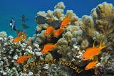 Зебровидный Дасцилл, Драгоценный Псевдантиас,Хромис Вебера, Мягкие КораллыКрасное море