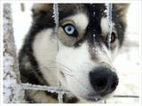 Первым делом должен сказать - цвет глаз натуральный, никакого Фотошопа. Это особенность породы. В прошедшие выходные удалось побывать в Финской Лапландии. На одной из ферм заснял этого красавца :) Можно подумать, что он злой и агрессивный, но это совсем не так. Хаски - самая добрая из пород северных ездовых собак. Они совершенно не проявляют агрессии, они очень дружелюбные! Одна из главных отличительных особенностей от других пород - потрясающе-красивые голубые глаза. У этого *товарища* один глаз голубой, а другой карий. Многие вздыхают: *Ах, бедные собачки, какое издевательство, людей таскать