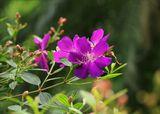 Неизвестное мне южное растение (кто бы подсказал...кустарник)   Ура! Маргарита подсказала. Это Тибучина
