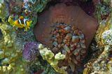 """Пузырчатая Актиния частично спряталась в """"мешочек"""". Редко такое явление увидишь в Красном море.Амфиприон, Пузырчатая Актиния, Красное море"""