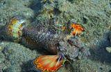 Нитевидная Бородавчатка, Красное море