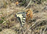 Махаон(Papilio machaon) - дневная бабочка из семейства парусников или кавалеров (лат. Papilionidae).  Снято на сильнейшем ветру(бабочка еле держится за ветку) на вершине горы Бештау...