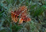 Размер Рыбки около 10 сантиметров, на глубине 2- 3 метра, передвигалась по траве, почти скрываясь в ней. Здесь можно рассмотреть малютку поближе:https://content-15.foto.my.mail.ru/mail/mvmil56/8831/b-9131.jpg Африканская Крылатка, Красное море