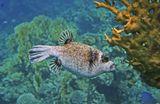 Масковый Аротрон, размер около 15 см, Огненный КораллКрасное море