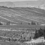 Тишина на зимующих плантациях крымских виноградников