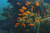 Рыбки сняты на глубине около четырех метров. Огненный Коралл простирается до дна еще метров на пять.Драгоценный Псевдантиас, Огненный Коралл Красное море