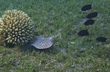 Скат выбрал коралл, под которым решил спрятаться от преследования Белохвостых Леопольдитов.Электрик летел с большой скоростью на глубине 4-5 метров. Его размер около 40 сантиметров.Индо- Тихоокеанский Электрический Скат, Белохвостые Леопольдиты,коралл Акропора ПравильнаяКрасное море