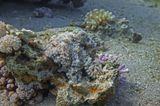 Осьминог снят на глубине примерно 4- 5 метров. Ищите глаз в центре кадра! Осьминог, Красное море