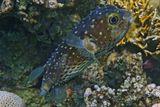 Эта рыба представляет опасность для человека по трём причинам. Первая — возможность отравления сигуатоксином при употреблении этого вида в пищу. Вторая — внутренние органы этой рыбы содержат тетродотоксин. Третья причина — их мощный рот, укус этой рыбы может быть весьма болезненным.Желтопятнистый Циклихт, Красное море
