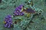 Цветовое сочетание цвета Вариолы, кораллов и Рождественского Дерева на сиреневой Стилопоре Ветвистой поражает своей органичностью... Рыба долго кружила на этом месте, глубина около четырех метров...Радужная Вариола, Красное море