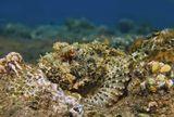 Бородатый Скорпенопсис, Красное море