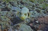 Размер Рыбки около 25 сантиметров. Удивительная способность менять  сапфировый цвет глаз на изумрудный:https://content-2.foto.my.mail.ru/mail/mvmil56/8831/b-9008.jpgНепятнистый Аротрон, Красное море