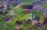 Буквально в метре от берега, на ярко- зеленых водорослях плавали две маленькие рыбки (~15 см).Глубина- никакая, освещение- никакое, уже солнце почти скрылось за горизонтом, но снимала до последнего, почти чиркая по дну, даже развернуться было невозможно- так мелко... Вокруг кружили крохотные Красноморские Иглобрюхи- Торквигенера.Чернополосый Морской Карась, Красное море