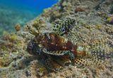 Снимала на глубине около двух метров. Размер Рыбки ~ 15 см.Короткопёрый Дендрохир, Красное море