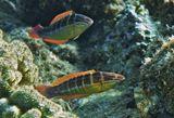 Размер Рыбки 15- 20 сантиметров.Оманская Талассома, Красное море
