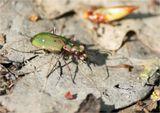 Жуки-скакуны (лат. Cicindelinae) — подсемейство жужелиц. Название связано со способностью этих жуков к быстрому бегу. По соотношению скорости, иногда превышающей 2 м/с, и размеров тела (обычно 1—2 см) эти насекомые оказываются самыми быстрыми наземными животными...