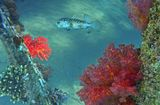 Желтопятнистый Циклихт, Дендронефтия Хемприха (Мягкий Коралл)Красное море